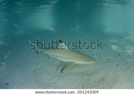A Blacktip reef shark swims through the shallows of a lagoon in French Polynesia. This part of the tropical South Pacific is known for its many sharks, fish, and coral reefs. - stock photo