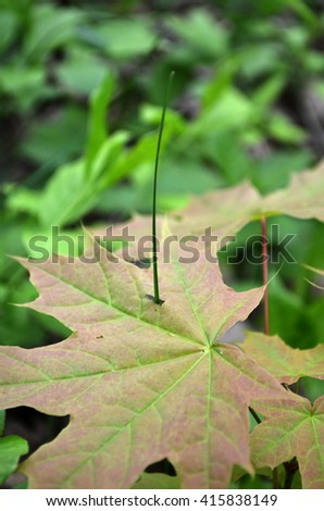 a blade of grass sprouted through the fallen maple leaf