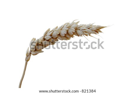 A blade of wheat