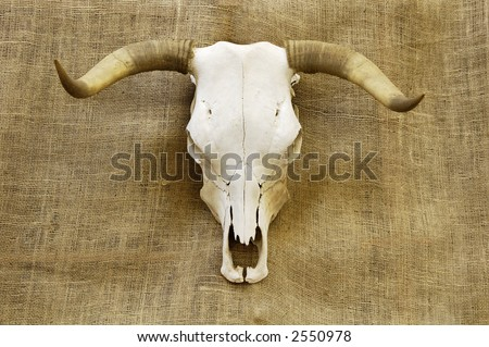 A bleached steer skull with horns with a burlap background - stock photo