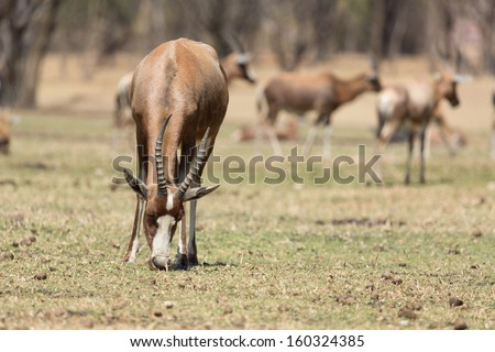 A Blesbok, a large herbivore endemic to South Africa in a South Africa National Park - stock photo