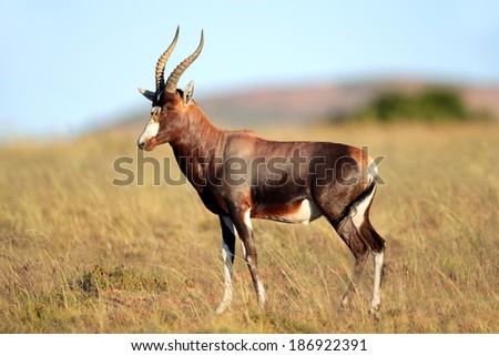 A blesbok antelope (Damaliscus pygargus) standing in grassland, South Africa - stock photo