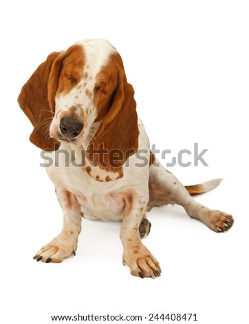 A blind Basset Hound dog that has had both eyes removed