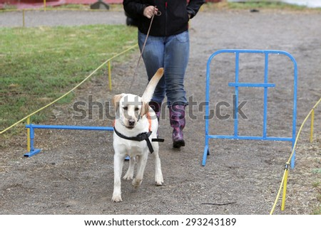 A blind person is led by her golden retriever guide dog during the last training for the dog. The dogs are undergoing various trainings before finally given to the physically disabled people.  - stock photo