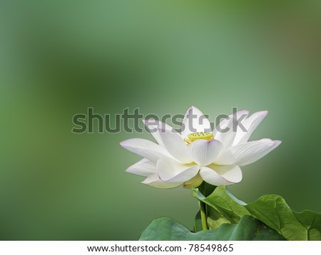 a bloom lotus in summer - stock photo
