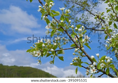 A blooming branch of a pear tree in orchard.