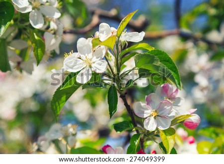 A blooming branch of apple tree. Close-up photo of apple blossoms. - stock photo