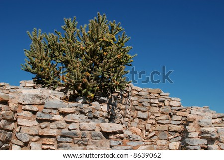A blooming cholla cactus growing on the top of the ancient wall in Salinas ruins, New Mexico - stock photo