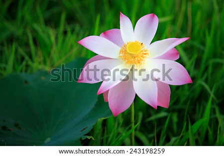 A blooming lotus - stock photo