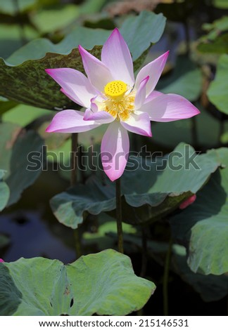 A blooming lotus flower  in the swamp - stock photo