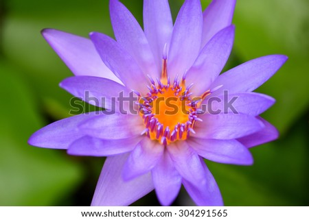 A blooming purple lotus.  - stock photo