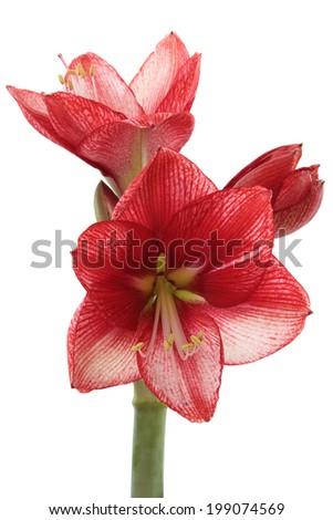 A Blooming Red and White Amaryllis Isolated on White - stock photo