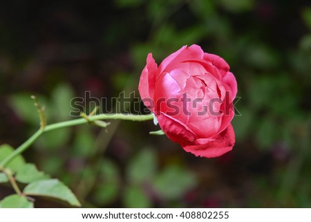 A blooming red rose.