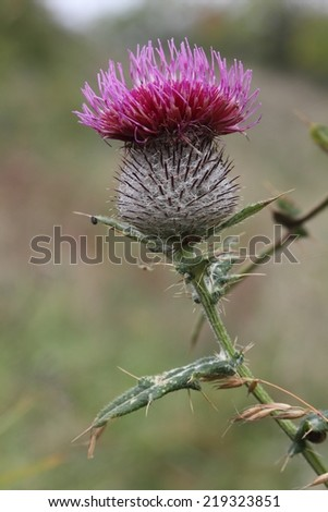 A blooming thistle. - stock photo