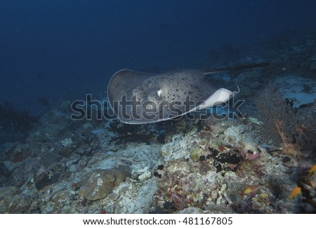 A blotched fantail ray (Taeniura meyeni), a large offshore coral atoll or reef fish, swimming across exposed tropical coral reef in the popular holiday destination of the Maldives Islands