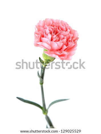 a blowing pink carnation on white background