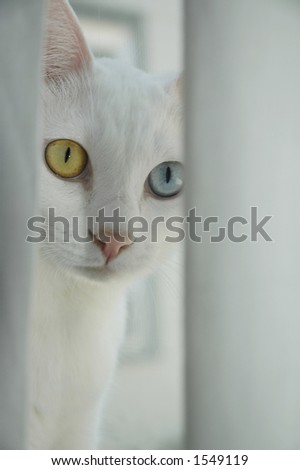 A blue and yellow-eyed cat peering out from behind a curtain. - stock photo
