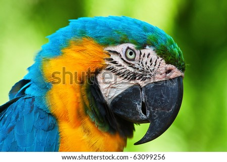 A blue and yellow macaw closeup - stock photo