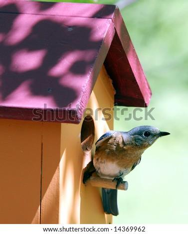 A Blue Bird Nesting - stock photo