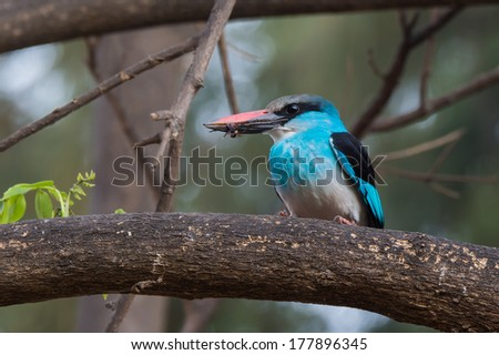 A Blue-Breasted Kingfisher (Halcyon malimbica) with a wasp in its beak - stock photo