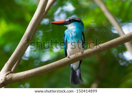 A Blue-Breasted Kingfisher perched on a branch - stock photo