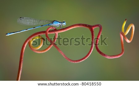A blue damselfly is perched on a red vine.