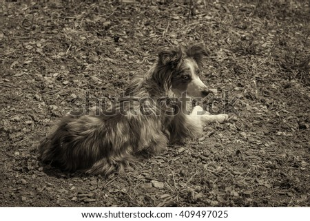 A blue-eyed, blue-merle, miniature austrailian shepard rest on the ground after running around the yard. - stock photo