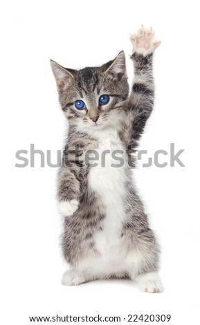 A blue eyed kitten with a paw up. - stock photo