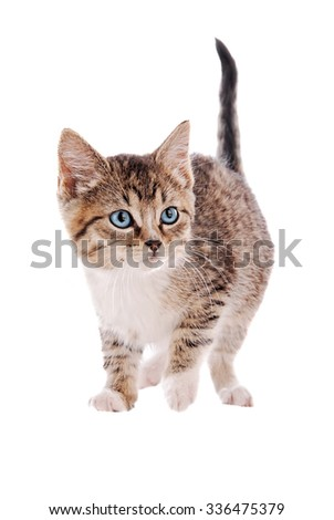 A blue eyed white and tabby kitten on a white background. - stock photo
