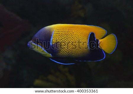 A Blue Girdled Angelfish (Pomacanthus navarchus) swimming in an aquarium. - stock photo