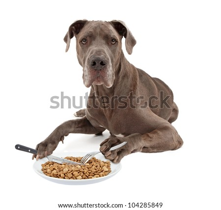 A blue Great Dane dog laying against a white background and eating a plate of food with a knife and a fork that he is holding in his paws - stock photo