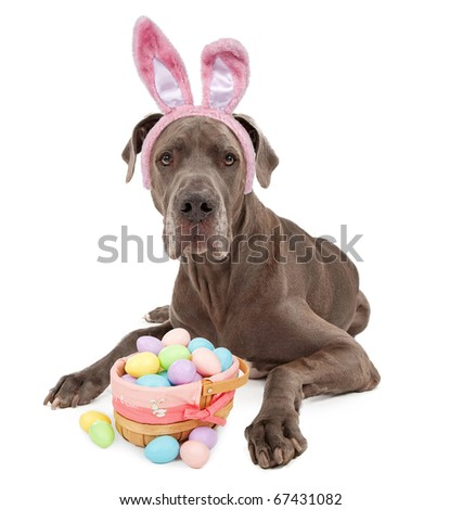 A blue Great Dane dog wearing bunny ears with a basket of Easter eggs. Isolated on white - stock photo