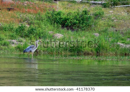 A Blue Heron stands patiently in a river. - stock photo