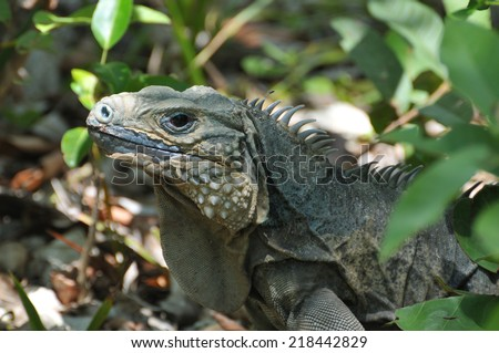a Blue Iguana, native of the Grand Cayman Island in the Caribbean - stock photo