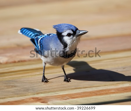A Blue Jay looking for food on the patio deck. - stock photo