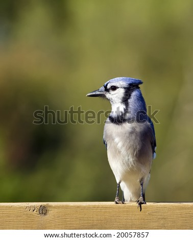 A Blue Jay perched on a deck rail.