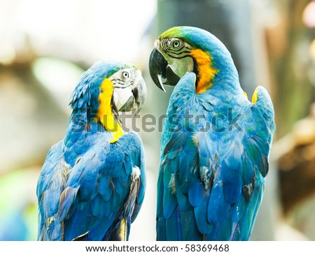A blue Macaw communicating to each other. - stock photo