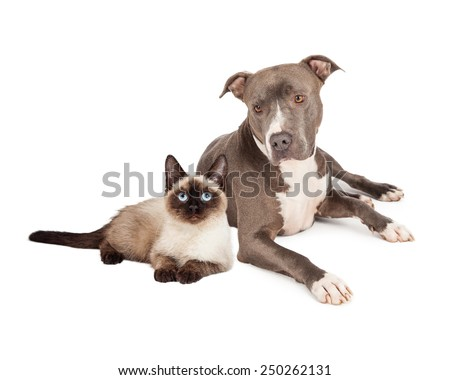 A blue Pit Bull Terrier dog and a siamese cat sitting together - stock photo