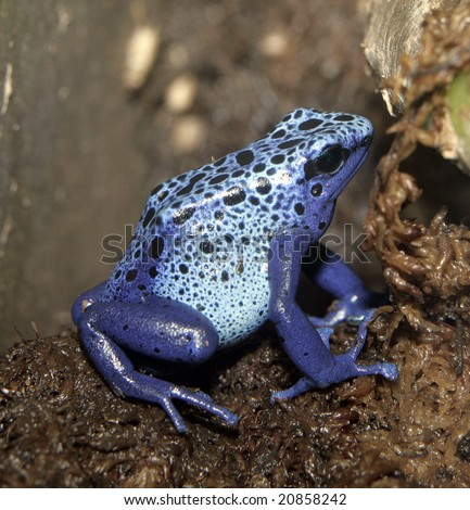 A Blue poison dart frog sitting on a branch - stock photo