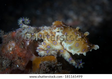 A Blue ring octopus (Hapalochlaena sp.) explores a sandy slope in Lembeh Strait, Indonesia. This small, rarely seen cephalopod is among the most venomous creatures on Earth. - stock photo