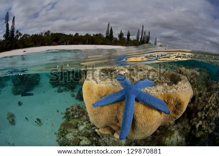 A blue seastar and corals grow just under the surface of the water near Isle de Mare near New Caledonia.  This beautiful island supports a variety of South Pacific invertebrates and fishes. - stock photo