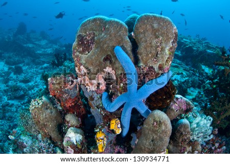 A blue seastar (Linkia laevigata) clings to a diverse coral reef near the Bunaken Marine National Park in North Sulawesi, Indonesia. - stock photo