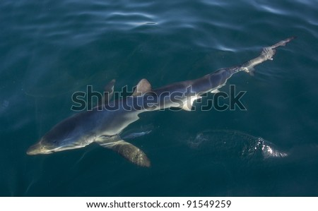 a blue shark shows off its colours just beneath the surface - stock photo