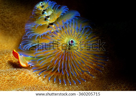 A blue-tipped yellow Christmas Tree Tube worming the coral on the reef in the warm, tropical waters of Guam - stock photo