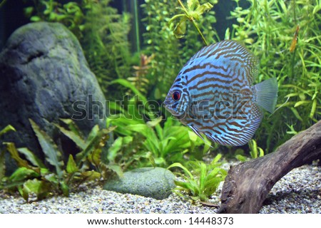 A Blue Turquoise Discus, tropical aquarium fish swimming in an aquarium.  Space for copy.