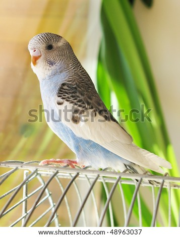 A blue wavy parrot sits on a cage - stock photo