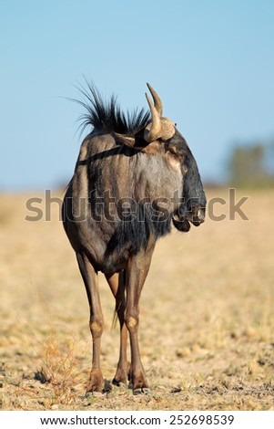 A blue wildebeest (Connochaetes taurinus) in natural habitat, Kalahari desert, South Africa - stock photo