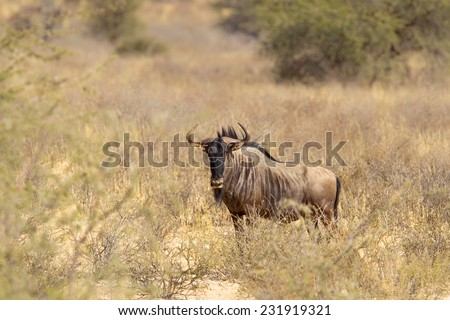 A Blue Wildebeest or Gnu (Connochaetes taurinus) in dry grassland, against a blurred natural background, Kalahari Desert, South Africa - stock photo