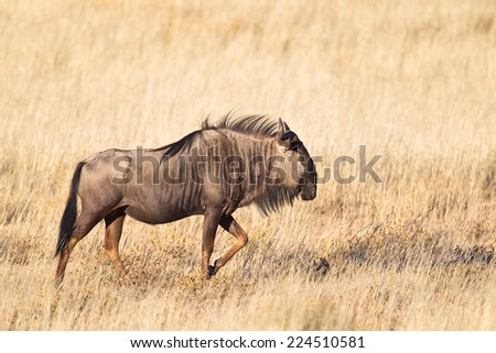 A Blue Wildebeest or Gnu (Connochaetes taurinus) walking in dry grassland, against a blurred natural background, Kalahari Desert, South Africa - stock photo