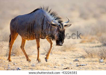 A  Blue Wildebeest walking over dry grassfields of Etosha